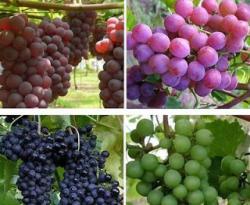 Gambar Buah Anggur - Manfaat Buah Anggur untuk Kesehatan