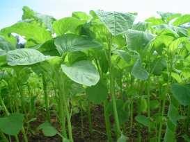 Gambar Tanaman Sayur Bayam - Manfaat Sayur Bayam untuk Kesehatan