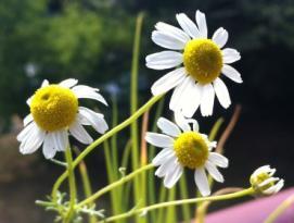 Gambar Bunga Chamomile