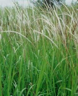 Gambar Tanaman Alang-alang. Manfaat dan Khasiat Alang-alang untuk pengobatan Tradisional