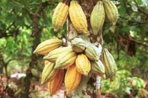 Gambar Buah Cokelat atau Kakao. Kandungan Nutrisi dan Manfaat Buah Cokelat atau Kakao