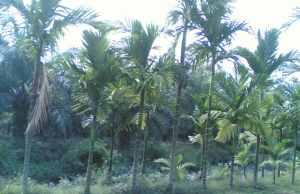 Gambar Pohon Pinang. Manfaat Tanaman Pinang