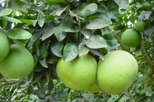 Gambar, Kandungan Nutrisi dan Manfaat Buah Pamelo atau Jeruk Bali