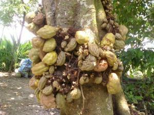 Pohon Buah Namnam