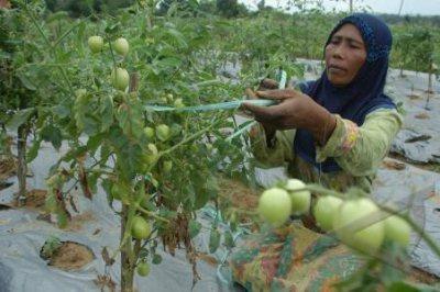 Bedanya Tanaman dan Tumbuhan Tomat
