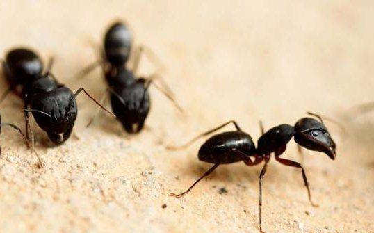 Gambar Cara Mengusir Semut
