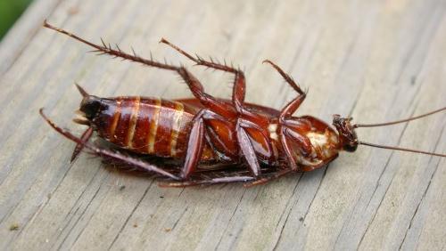 Gambar Cara Membunuh Kecoa atau Coro